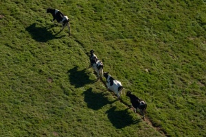 Line Of Cattle